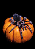 Tarantula On Pumpkin. Brachypelma Smithi (Mexican Red Knee Tarantula) On Small gourd resembling a pumpkin Stock Photography