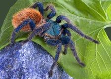 Tarantula que recorre sobre roca Imagen de archivo libre de regalías
