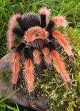 Tarantula que sube la roca cubierta de musgo Imágenes de archivo libres de regalías
