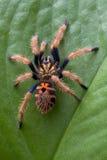 Tarantula que sube para arriba la hoja Fotografía de archivo