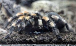 Tarantula. Red legged mexican tarantula, macro Stock Images