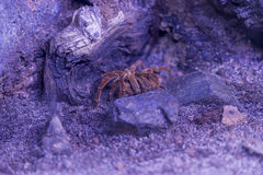 Tarantula resting royalty free stock photography
