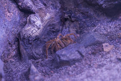 Tarantula resting Stock Photos
