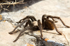 Tarantula on rock Stock Images
