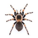 Tarantula rojo de la rodilla Imagen de archivo