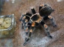 Tarantula rojo mexicano de la rodilla Imágenes de archivo libres de regalías