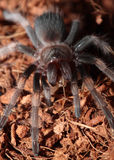 Tarantula rouge mexicain de genou Photos libres de droits