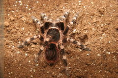 Tarantula. We saw this tarantulas at a Pet Shop in South Africa. They sell it as a pet Stock Images