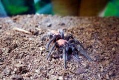 Tarantula Schizopelma obraz stock