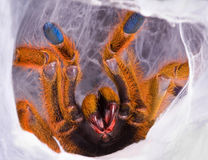Tarantula showing fangs Royalty Free Stock Images