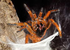 Tarantula showing fangs Stock Image
