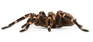 Tarantula side view. Geniculata white-knee brazilian tarantula side view Royalty Free Stock Photos