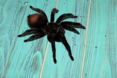 tarantula siedzi na pięknym tle fotografia stock