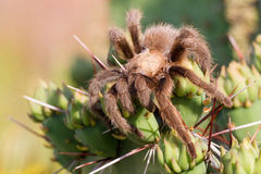 Tarantula Sitting on top of a cactus Royalty Free Stock Photography