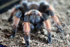 Tarantula smithi Brachypelma στοκ φωτογραφία με δικαίωμα ελεύθερης χρήσης