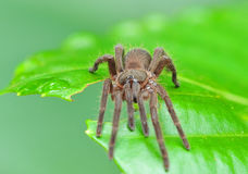 Tarantula spider. Large tarantula spider stay on green leaf stock photos
