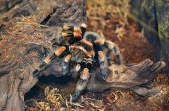 Tarantula spider. Animals exotic terrarium royalty free stock photography