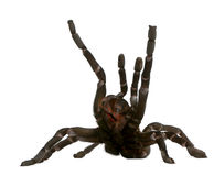 Tarantula spider attacking, Haplopelma Minax Royalty Free Stock Photography