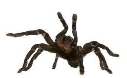 Tarantula spider attacking, Haplopelma Minax Stock Image