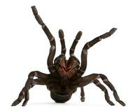 Tarantula spider attacking, Haplopelma Minax, in front of white Royalty Free Stock Images
