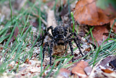 Tarantula spider with big eyes. Crawls through the grass royalty free stock photography
