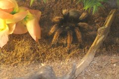 tarantula spider brachypelma Royalty Free Stock Photos