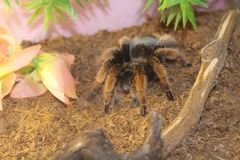 tarantula spider brachypelma Royalty Free Stock Images