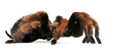 Tarantula spider, Brachypelma Boehmei Royalty Free Stock Image