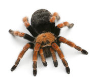 Tarantula spider, Brachypelma Boehmei Royalty Free Stock Photography