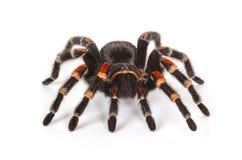 Tarantula spider Stock Images