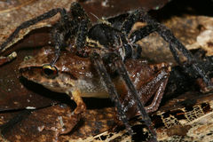 Tarantula Spider Eats Frog Stock Photography