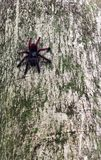 Tarantula spider on her tree Royalty Free Stock Photography