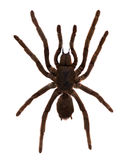 Tarantula Spider. Isolated over white Stock Photo