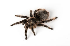 Tarantula. A Tarantula spider on an isolated white background Stock Photography