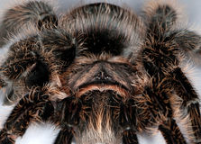 Tarantula spider macro Stock Image