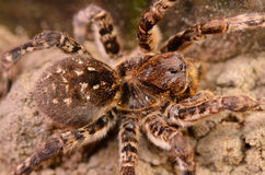 Tarantula spider macro Royalty Free Stock Photography
