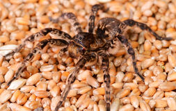 Tarantula spider macro Stock Photos