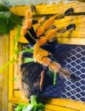 Tarantula spider Royalty Free Stock Photos