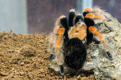 Tarantula spider Stock Photos