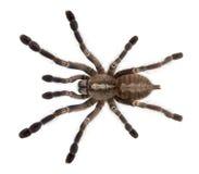 Tarantula spider, Poecilotheria Metallica Stock Photo