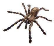 Tarantula spider, Poecilotheria Metallica Stock Images