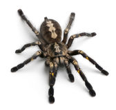 Tarantula spider, Poecilotheria Metallica Stock Photo