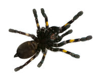 Tarantula spider, Poecilotheria Metallica Royalty Free Stock Photography