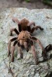 An itsy bitsy tarantula spider on a rock. Stock Photo