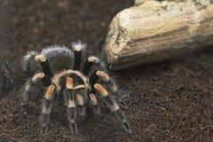 Tarantula. Royalty Free Stock Photography