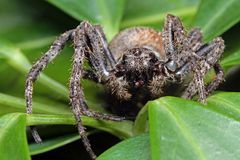 A tarantula spider. To subject. 8 eyes of black, arranged in three columns 4-2-2. Step foot thick, spiny, because run, can jump, toxic, agile, fierce the name royalty free stock photos