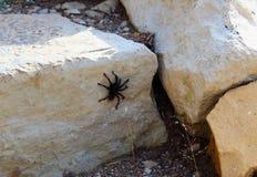 Tarantula Spider in Walnut Canyon national Monument. Tarantula Spider in Arizona on rocks at walnut canyon national monument around Indian ruins stock photos