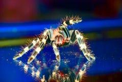 Tarantula-Spinne betriebsbereit zu Str. Lizenzfreies Stockbild