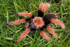 Tarantula su erba fotografia stock libera da diritti