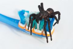 Tarantula sul toothbrush immagini stock libere da diritti